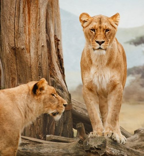 africa-lions